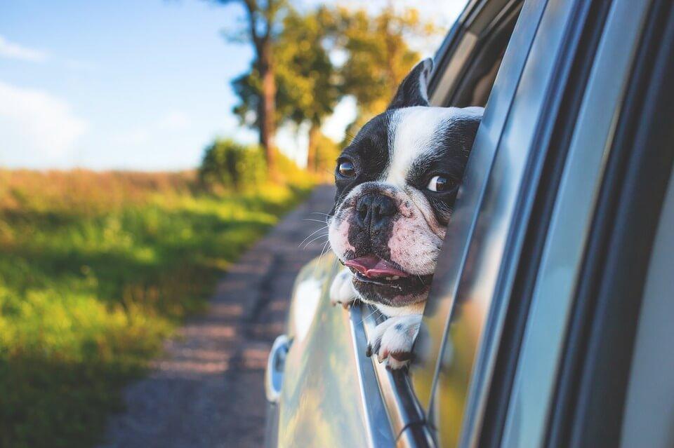 A Boston Terrier peeking out the window